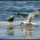 Lov na kachnu na jezeře Pyhajarvi v Tampere – Finsko