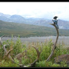 Výšlap u Eielson visitor centra v Denali – cestopis Aljaška den X.