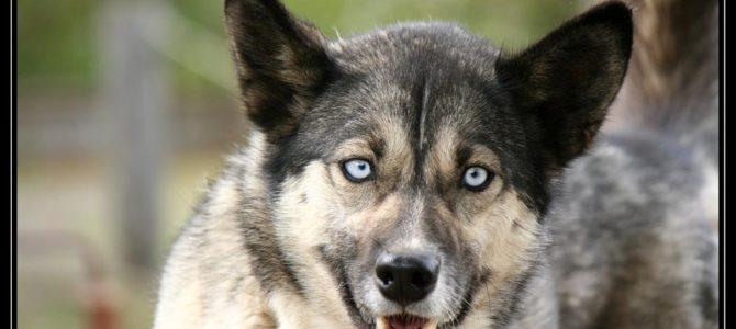 Pozorujeme psy Husky v Denali a přespáváme u Talkeetny – cestopis Aljaška den XI.